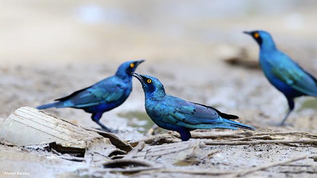 Lamprotornis chalybaeus - Büyük Mavikulaklı Sığırcık [TR], Greater Blue-eared Starling [EN]