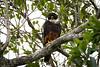 Halcón Murcielaguero - Bat Falcon by abasora