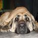 Sad dog lying down by Petful.com