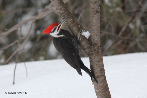 Pileated Woodpecker (Dryocopus pileatus) | by Gerald (Wayne) Prout