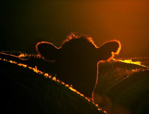 autumn light sunset face silhouette rural canon cow cattle farm australia victoria vic hay calf canonpowershots2is haybales canonpowershot gippsland warragul lateafternoonlight auspctagged pc3820 phunnyfotos