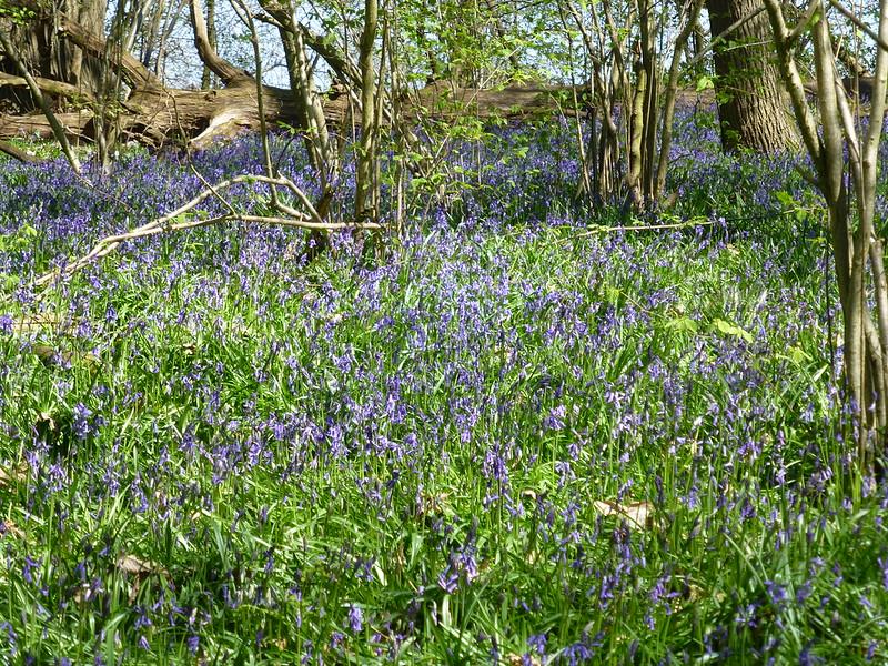 Bluebells, Little Wix Wood