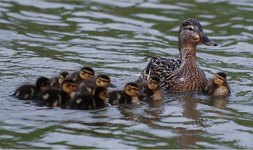 Mother duck showing off her couple of day old ducklings