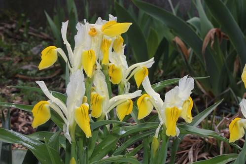Iris bucharica 8664211119_c94aab8372