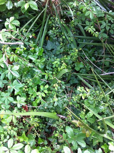 Blackberry vines among the greenery   by DivineMissEm