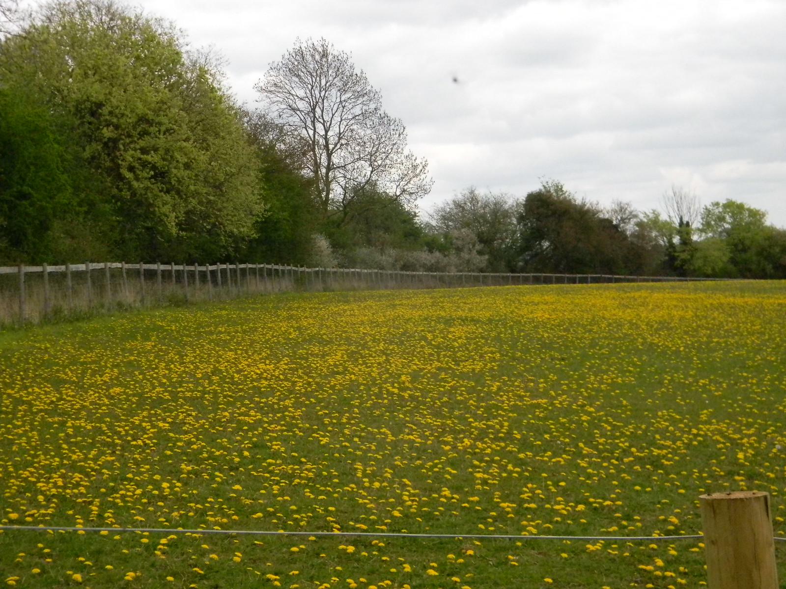 Field of dandelions Shiplake to Henley