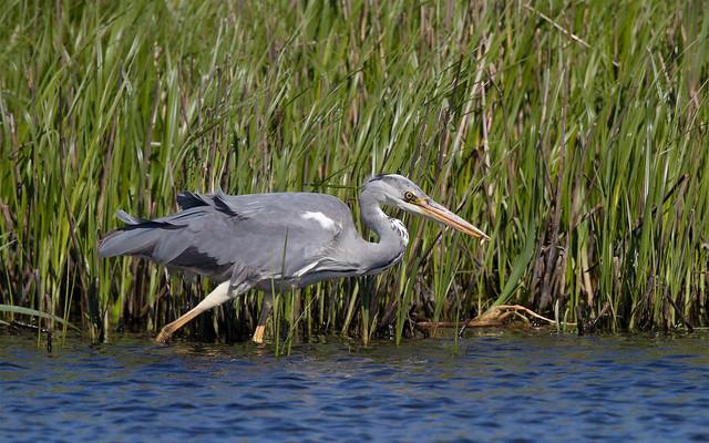Grey heron with tiddler