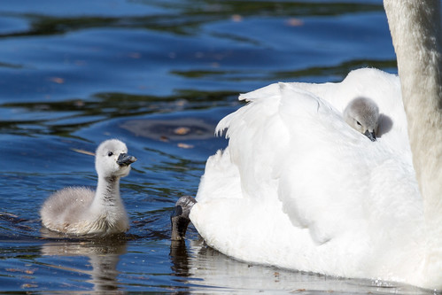 irish baby bird nature water animals swan babies wildlife mother cygnet fluffy birdwatching osiris muteswan tuckers cygnusolor babyswan irishwildlife irishbirds cygnetonmothersback natureinireland