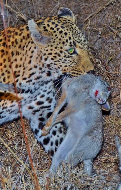 Green eye...Leopard at Sabi Sands