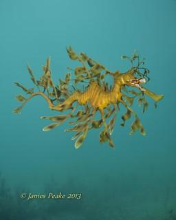 Leafy Seadragon adult.