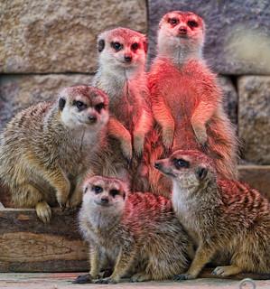 Five meerkats under the lamp | by Tambako the Jaguar