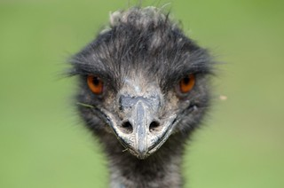 Emu | by Kiwi Flickr