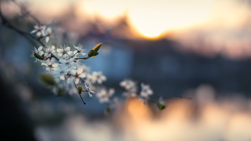 sunset sun sunlight flower spring dof bokeh blossoms