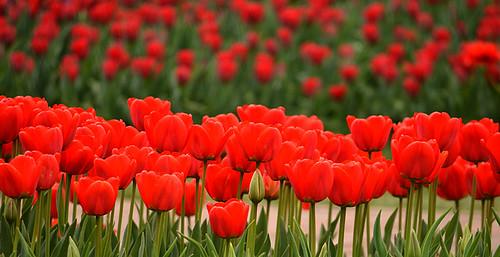 Longwood Tulips -05 Joe | by KathyCat102