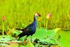 _SYT2470-紫水鸡 Purple Swamphen by lonelyshrimp