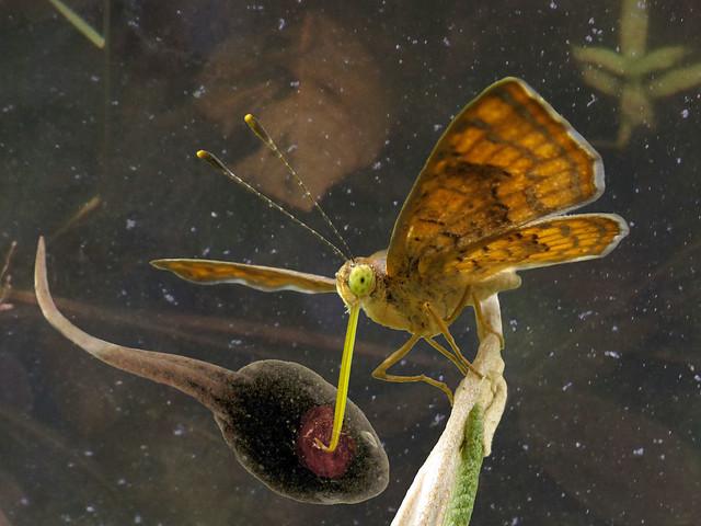 Tyrannopapilio ranunculiphagus
