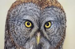 Focussed Gus, Captive Great Gray Owl (Strix nebulosa) DDZ_3473