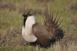 Greater Sage-Grouse   by USFWS Pacific Southwest Region