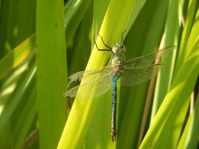 Common Green Darner dragonfly, Davis California
