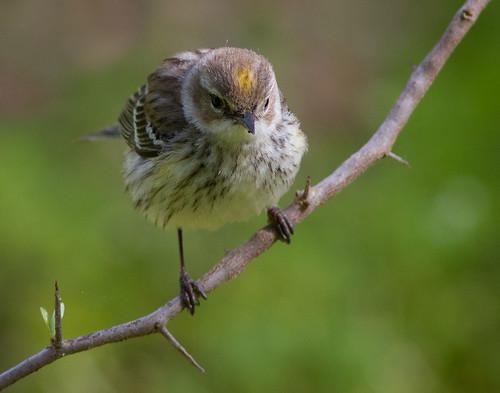 birds birding galvestonisland yellowrumpedwarbler gseloff laffitescove