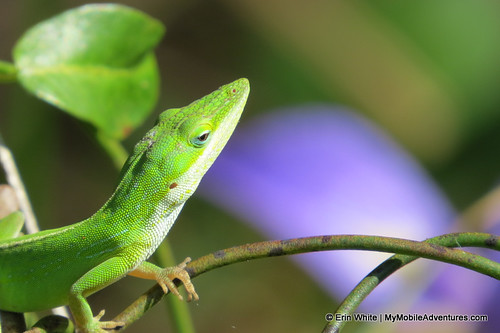 Green anole at Six Mile Cypress | by Erin *~*~*