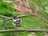 Papamoscas cerrojillo macho sobre un Tamarix gallica by Pilar Pérez Pelegay