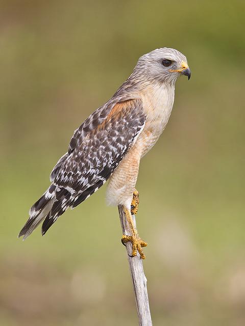 Circle-B-Bar Red-Shouldered Hawk