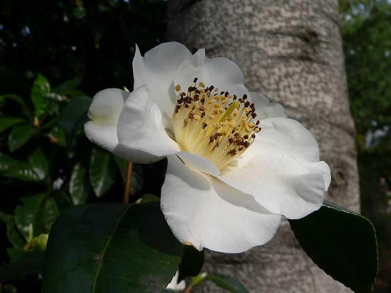 Camellia japonica Yukumi guruma1
