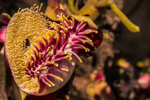 india flower closeup dof bokeh samsung crop chennai tamilnadu ecr kumar couroupitaguianensis muttukadu coth kumaravel nx100 cannonballtreeflower nagalingamflower samsungnx samsungnx100 nx100samsung