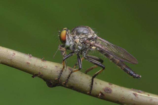 _Z2A8986 robberfly with prey