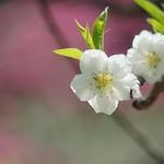 京都御苑の桃