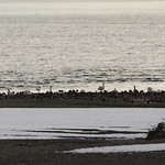 Lake McDonald waterfowl