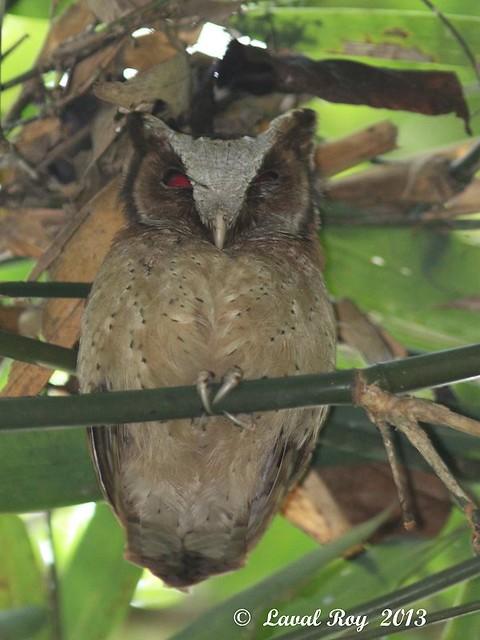 1.05712 Petit-duc à front blanc / Otus sagittatus / White-fronted Scops-owl