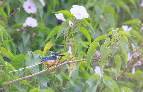 white lake king shoot poop kingfisher kol kolhapur throted kalamba