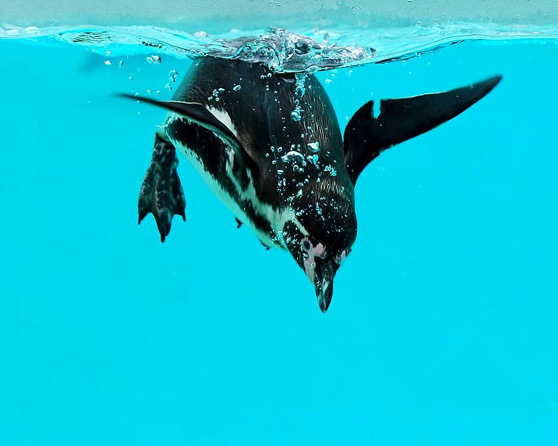 Penguin Dive 130321