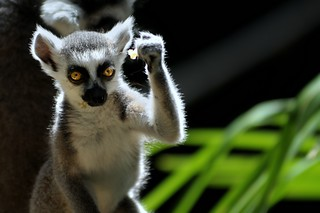 lemur success kid