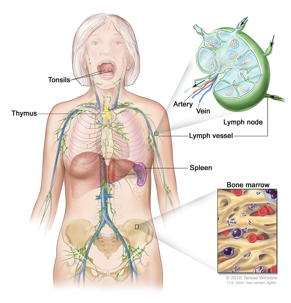 Lymph System; Drawing Shows The