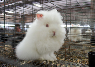 Lionhead that looked most like a toy cat | by Amy M. Youngs