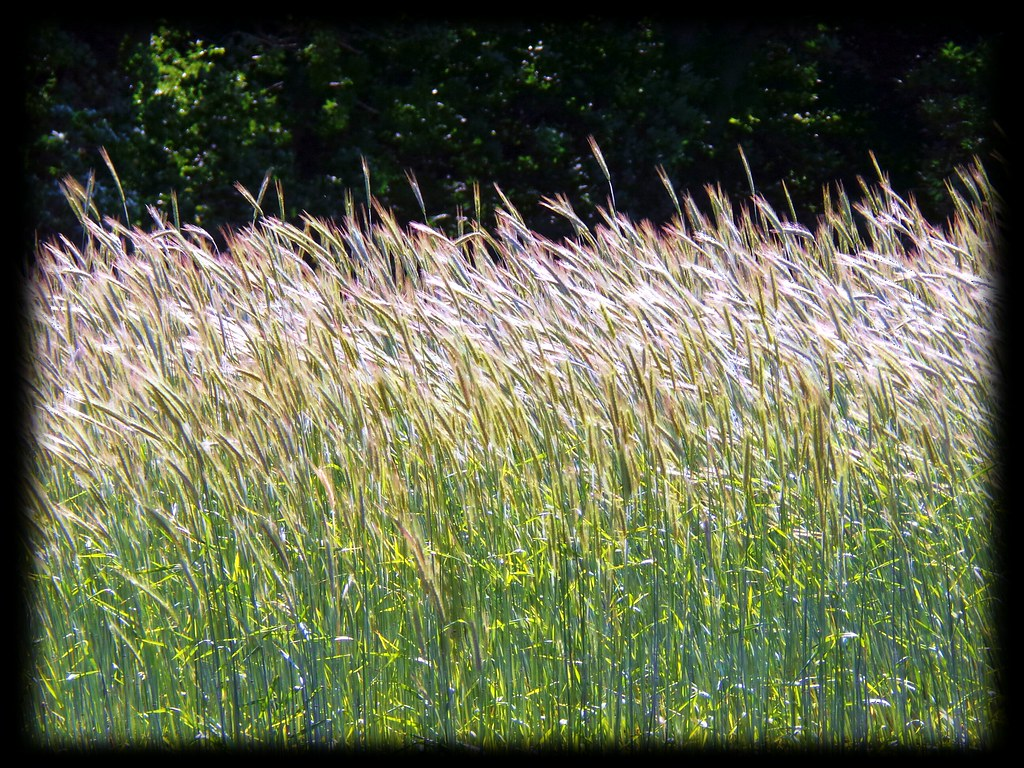 Amber Waves Of Grain Trgoyne Flickr