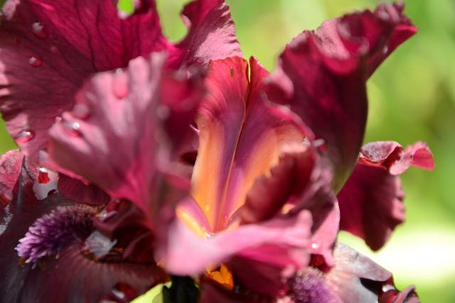 Iris 'Rio Rojo' - Schreiner 2009 27020737547_b98f1ebd19_z
