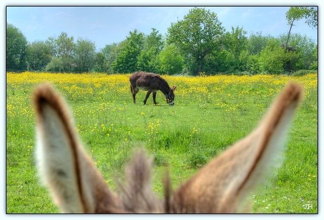 Les ânes de Pescalis