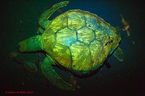 Glowing Green sea turtle, Ginoza Okinawa