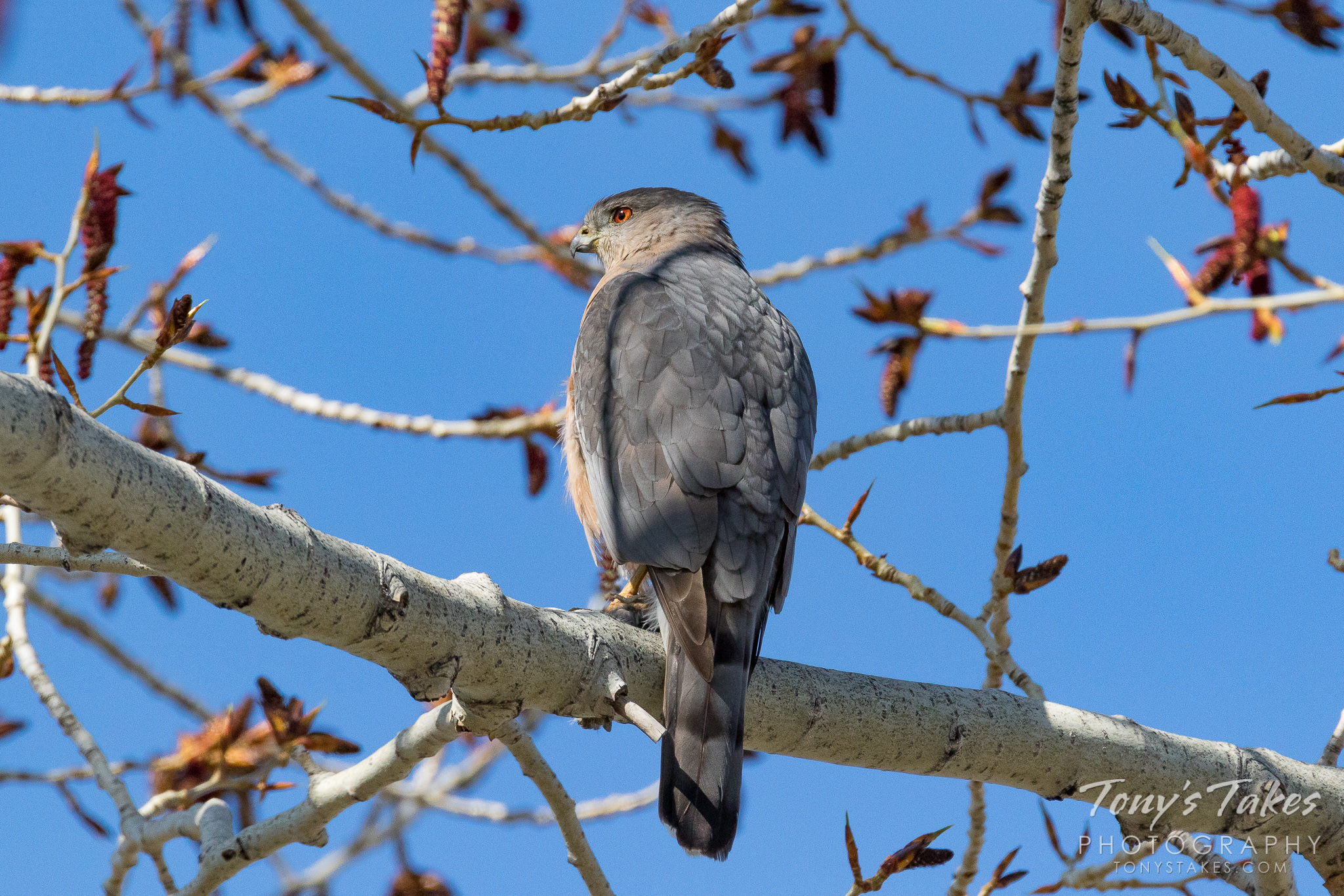 Cooper's Hawk keeping close watch. These are some of the coolest raptors you could hope to see. Their…