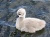 Black Swan Cygnet by iansand