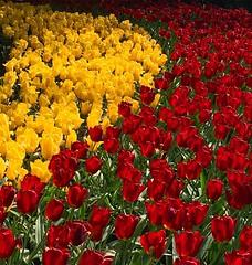 Tulipanes #keukenhof #netherlands #europe #tulips #tulip #yellow #red #colorful #colour #flowers #bulbs #primavera #colourexplosion #dual #green #garden #iphone6s