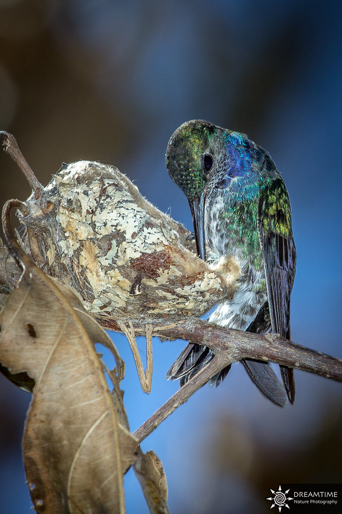 Saphir azuré femelle - Hylocharis cyanus