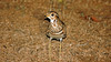Triple-banded Courser ( Rhinoptilus cinches ) by GH Rancher