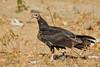 Lesser Yellow-headed Vulture (Cathartes burrovianus) by Rodrigo Conte