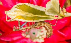 Praying Mantis bringing Water Drop