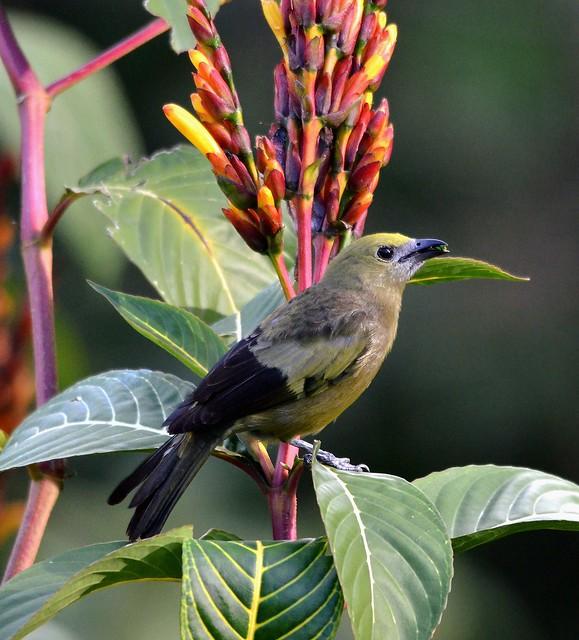 Palm Tanager (Thraupis palmarum) at Asa Wright Nature Centre, Trinidad.